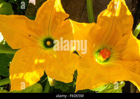 Male and Female squash blossoms in the garden - Stock Photo