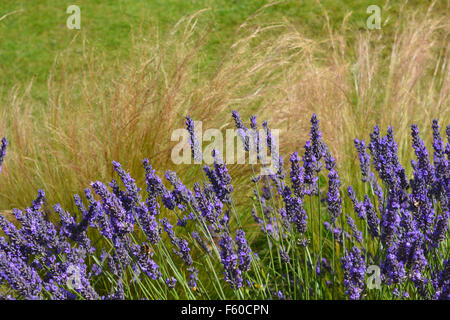 Lavender & Grass, Angustifolia Hidcote & Stipa Tenuissima (Pony Tails) at The Lavender Garden, Terrington, Yorkshire. - Stock Photo