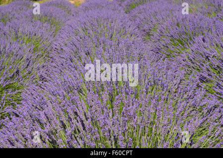 Lavender, Angustifolia Hidcote, in flower, Lavender Gardens, Terrington, Yorkshire - Stock Photo