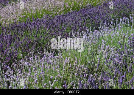 Lavender in flower at Yorkshire Lavender, Terrington, Yorkshire. - Stock Photo