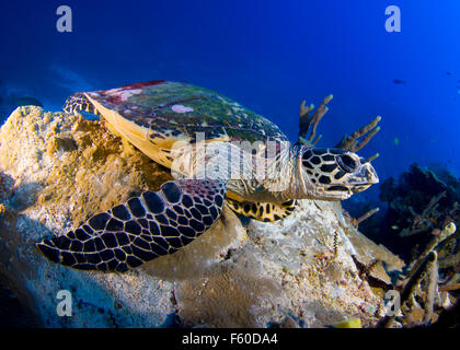 Hawksbill turtle - Stock Photo