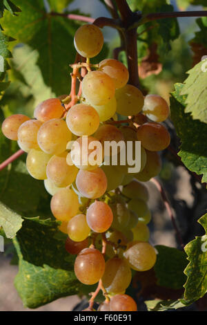 Muscat grapes ripening on the vine. Spain - Stock Photo