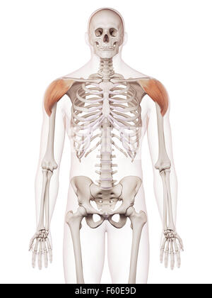 medically accurate muscle illustration of the deltoid - Stock Photo