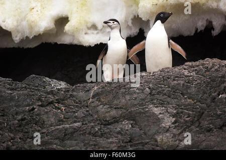 Two species of penguin interacting - Stock Photo