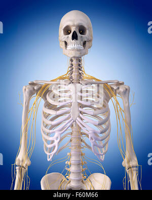 medically accurate illustration - nerves of the  upper body - Stock Photo