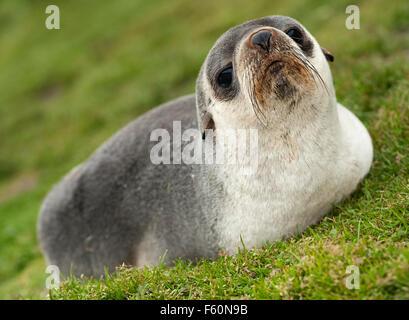 Antarctic fur seal (Arctocephalus gazella) - Stock Photo