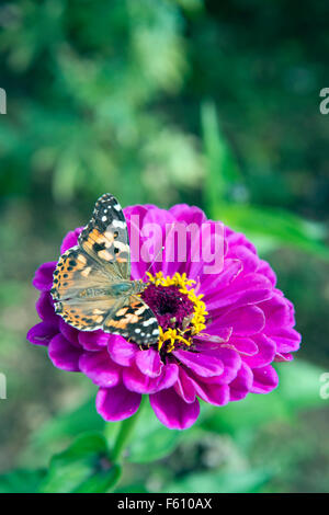 A Painted Lady butterfly on a Chrysanthemum flower UK - Stock Photo