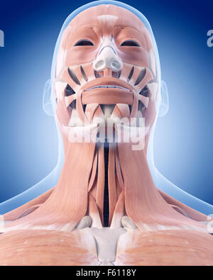 medically accurate illustration of the neck muscles - Stock Photo