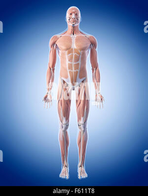medically accurate illustration of the muscle system - Stock Photo