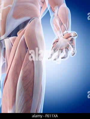 medically accurate illustration of the hand anatomy - Stock Photo