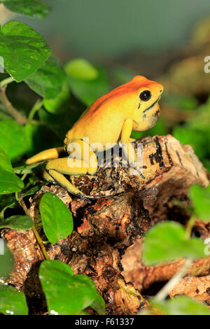 Black-legged poison frog, bicolored dart frog or neari (Phyllobates bicolor) with throat pouch, adult, alert - Stock Photo