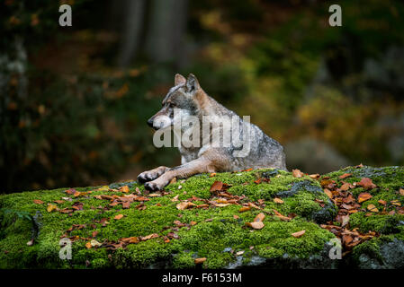 European grey wolf (Canis lupus) resting on rock in forest - Stock Photo