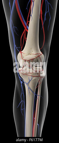 medically accurate illustration of the arteries and veins of the knee - Stock Photo