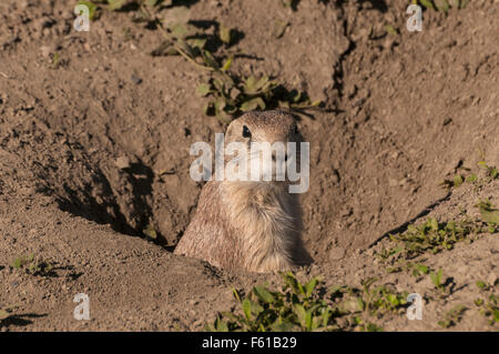 Black-tailed Prairie Dog (Cynomys ludovicianus) at its burrow in a Prairie Dog Town (Coterie) in the South Unit - Stock Photo
