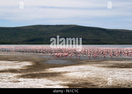 Lots of flamingos in Nakuru lake, Kenya - Stock Photo