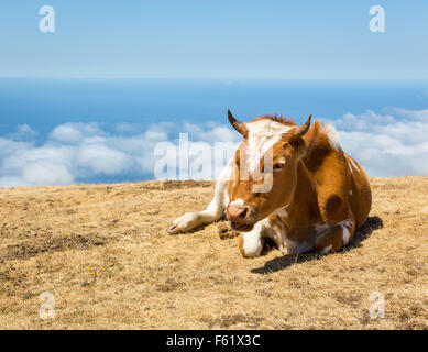 Milk cow lying in the mountains against sky - Stock Photo