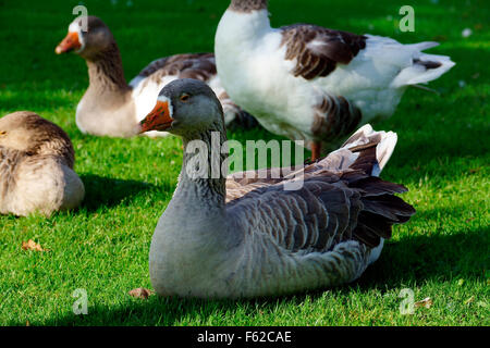 GOOSE'S RESTING IN THE SUN OPPOSITE THE FALCON WINDMILL - Stock Photo