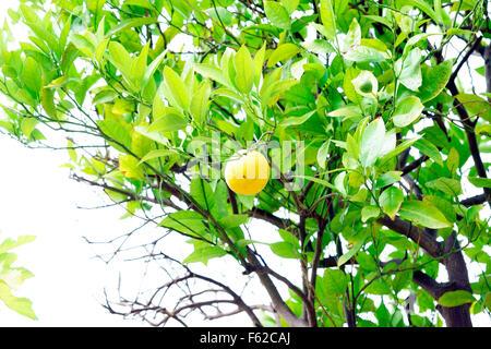 LEMON GROWING ON TREE - Stock Photo