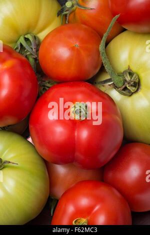 WA10933-00...WASHINGTON - A mixed group of ripening tomatoes, green,orange and fully ripened red. - Stock Photo