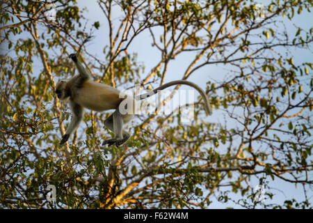 Hanuman Langur giving alarm calls indicate the presence of predators - Stock Photo
