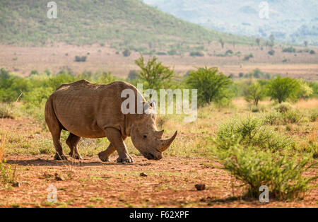 White Rhino walking - Stock Photo