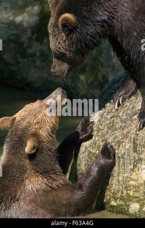 Close up of two Brown bears (Ursus arctos arctos) meeting at pond edge - Stock Photo