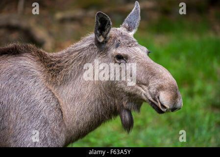 Moose (Alces alces) female / cow close up portrait - Stock Photo