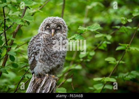 Ural owl (Strix uralensis) fledgling sleeping on tree stump in forest - Stock Photo