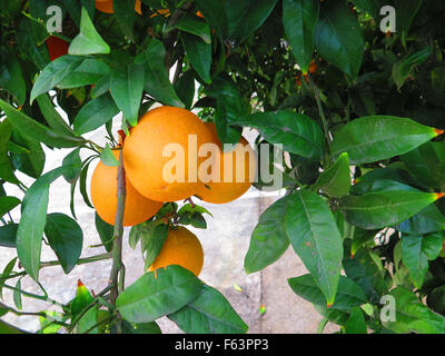 Closeup of ripe oranges on tree near Alora Andalucia - Stock Photo