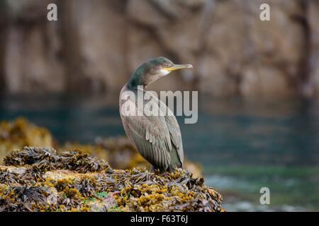 european shag perched on seaweed rocks, farne islands, uk - Stock Photo