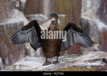 A young juvenile shag sea bird drying its open wings - Stock Photo