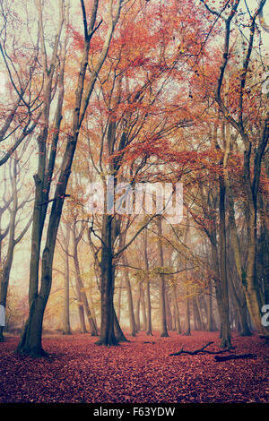 Fagus sylvatica. Beech trees and autumn mist. England - Stock Photo