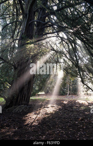 Yew tree, sunrays and autumn mist at Westonbirt Arboretum, Gloucestershire, England - Stock Photo