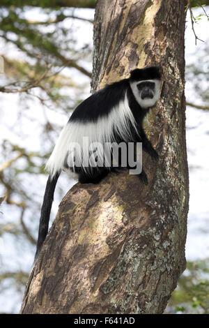 One Colobus monkey sitting on trunk of Acacia tree Colobus guereza Elsamere Naivasha Kenya - Stock Photo