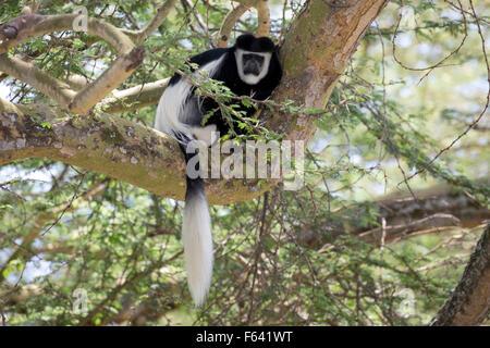 One Colobus monkey sitting in Acacia tree Colobus guereza Elsamere Naivasha Kenya - Stock Photo