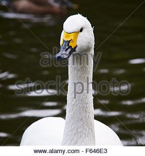 Whooper swan Cygnus cygnus close up - Stock Photo