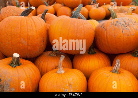 Pumpkins ( Squash ) in a pile for sale, Vermont VT USA - Stock Photo