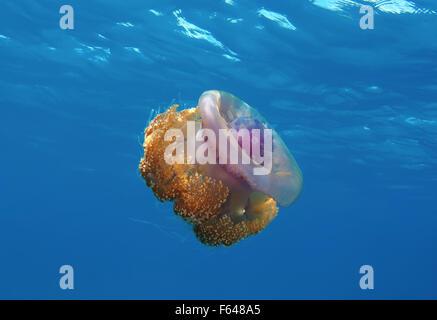 Cauliflower jellyfish (Cephea cephea) Indian Ocean, Maldives - Stock Photo