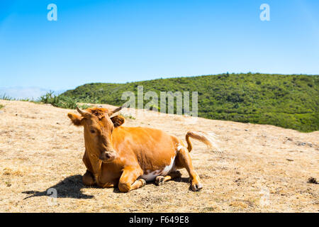 Cow is lying in the mountains against sky - Stock Photo