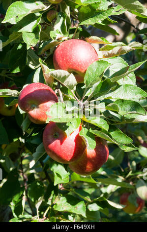 malus domestica apple 39 ingrid marie 39 with bird peck damage stock photo royalty free image. Black Bedroom Furniture Sets. Home Design Ideas