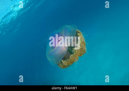 Indian Ocean, Maldives. 28th Sep, 2015. Cauliflower jellyfish (Cephea cephea) Indian Ocean, Maldives © Andrey Nekrasov/ZUMA - Stock Photo