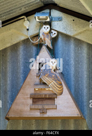 Barn owl (Tyto alba) adult and young at wooden nest box in barn, West Sussex, UK - Stock Photo