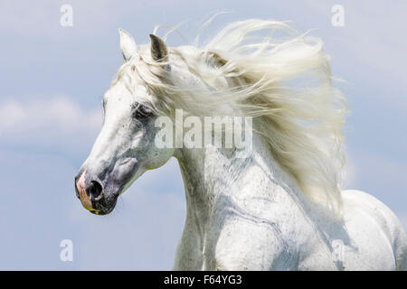 Pure Spanish Horse, Andalusian. Portrait of gray stallion with mane flowing. Germany - Stock Photo