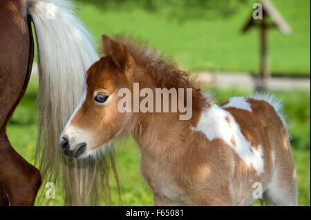 Miniature Shetland Pony. Skewbald mare with foal (4 weeks old) on a meadow. Germany - Stock Photo