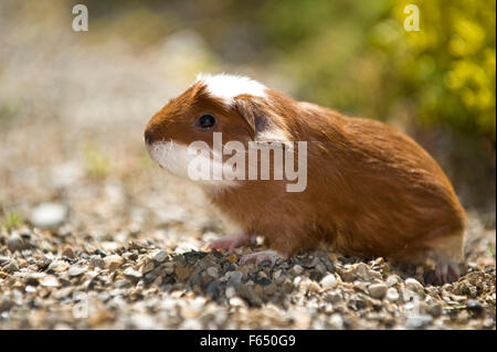 English Crested Guinea Pig, Cavie. Young (3 weeks old, red and white) on pebbles. Germany - Stock Photo