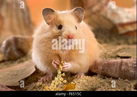 Hamster Deutschland
