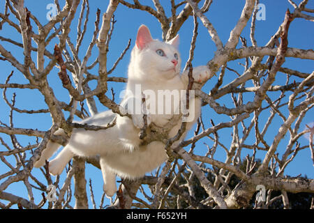 Domestic cat. White adult in the branches of a tree. Spain - Stock Photo