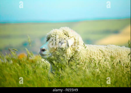 woolly sheep in field - Stock Photo