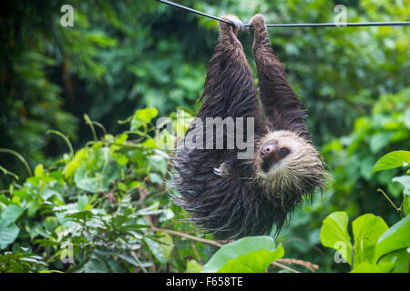 Lazy sloth in Panama - Stock Photo
