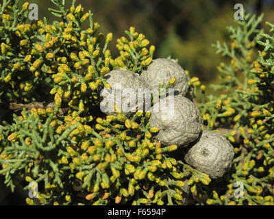 Close-up of Small gray pine cones in Alora Countryside - Stock Photo
